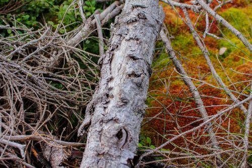 dry wood moss venerable