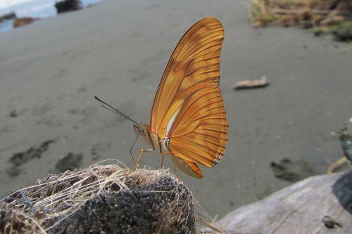 dryas iulia beach driftwood