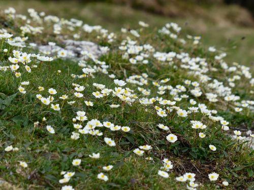 dryas octopetala flower blossom