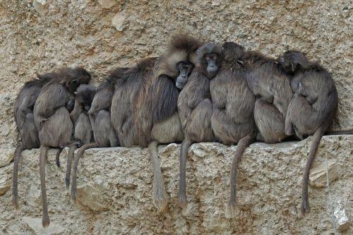 dschelada ape primates