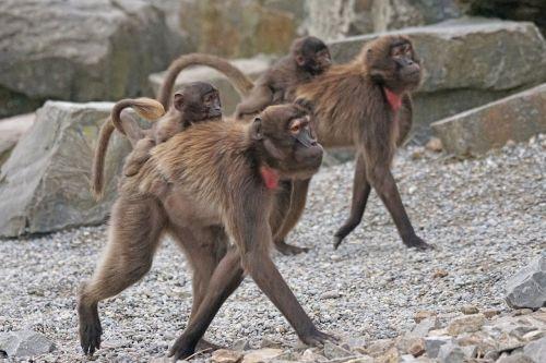 dschelada primates ape