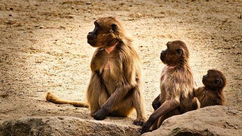 dschelada  the blood breast baboons  ape