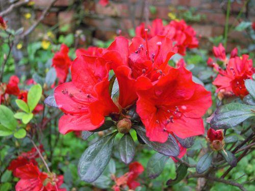 du 鵑 flowers red spring