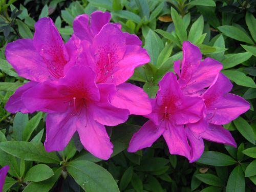 du 鵑 flowers azaleas purple