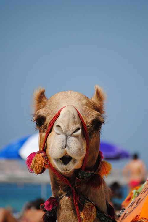 dubai emirates camel