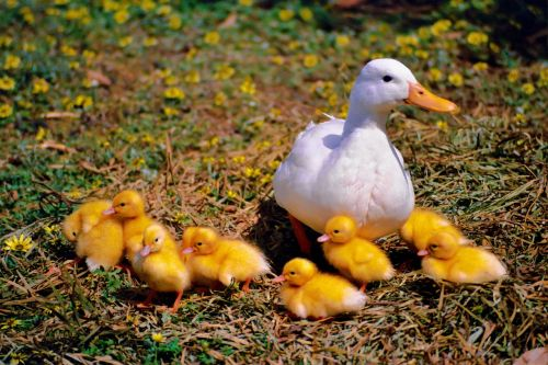 duck chicken family