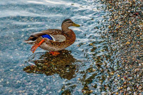 antis,gamta,gyvūnas,vanduo,judėjimas,laukiniai,paukštis,plaukti,spalva,ežeras,tvenkinys,ruda,mini,galva,mažas