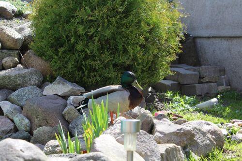 duck green landscape