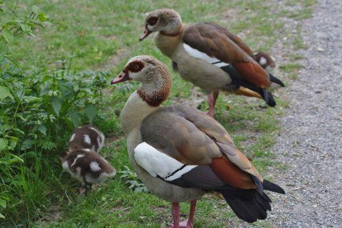 antis,vanduo,plumėjimas,gyvūnas,padaras,gamta,žalias,paukštis,vandens paukštis,naminiai paukščiai,elegantiškas,kaklas,laukinės gamtos fotografija,plunksna,schwimmvogel