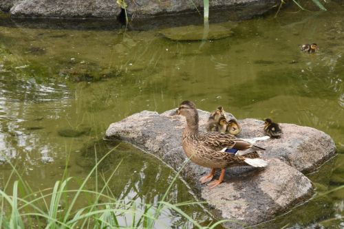 duck family nature