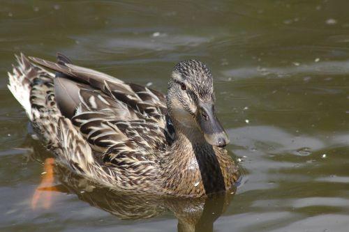 duck mirroring chicks