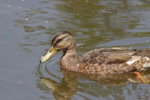 duck chicks water