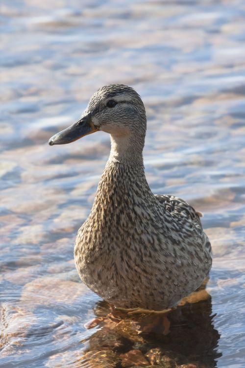 duck mallard young