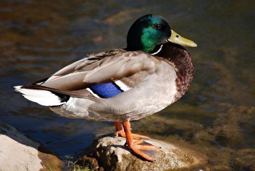 duck,crossword,water,bird duck,wild,water bird,bird,wild birds,ducks,hybrid,pond,mallard duck