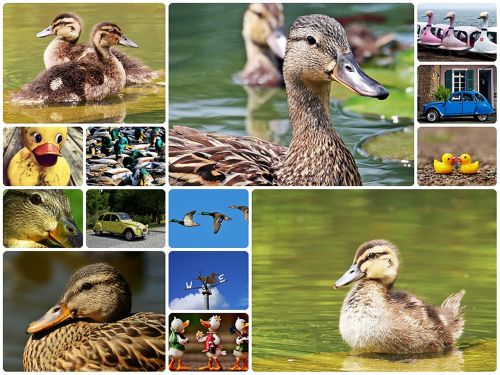 duck collage ducks collage