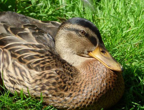 duck mallard bill