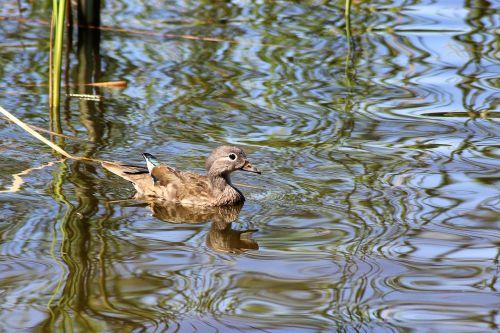 duck gadwall water bird