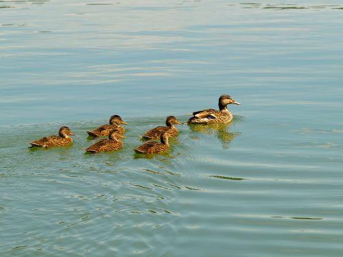 duck ducklings bird