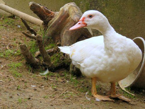 duck flying duck white