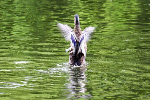 duck start free as a bird