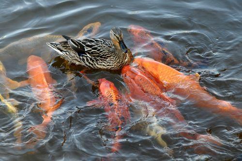 duck koikarpfen water