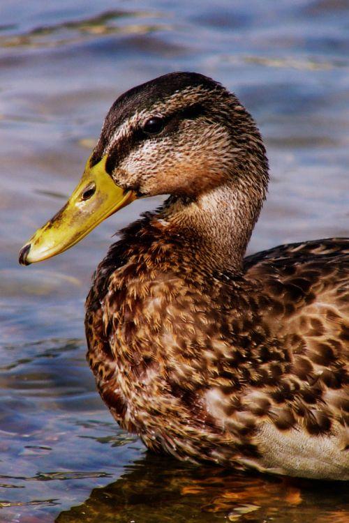 duck mallard water bird