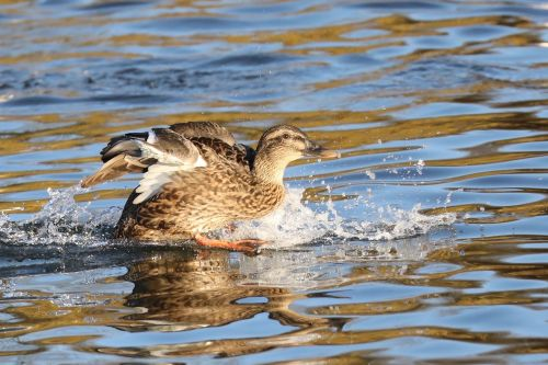 duck waterlanding water