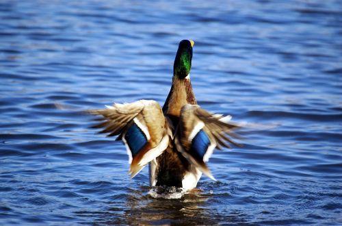 duck mallard drake