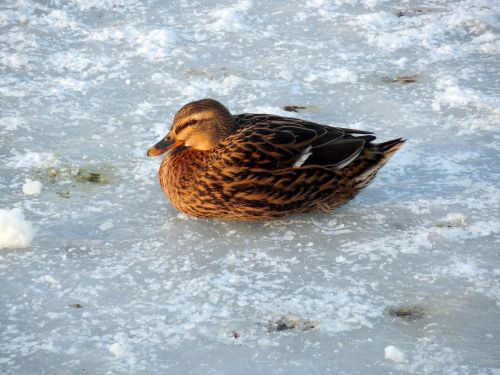 duck ice winter