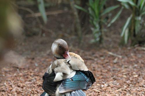 duck nature fauna
