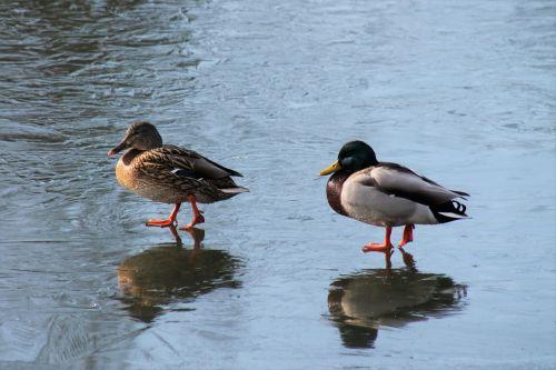 duck pair of ducks pond