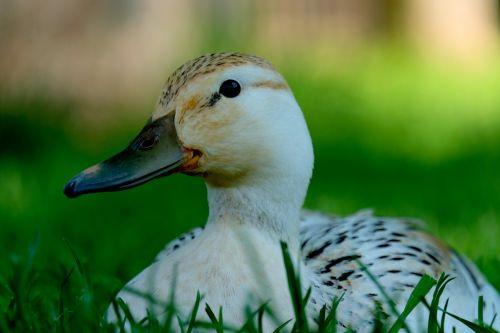 duck white animal