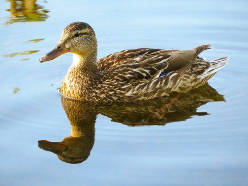 duck waterfowl bird