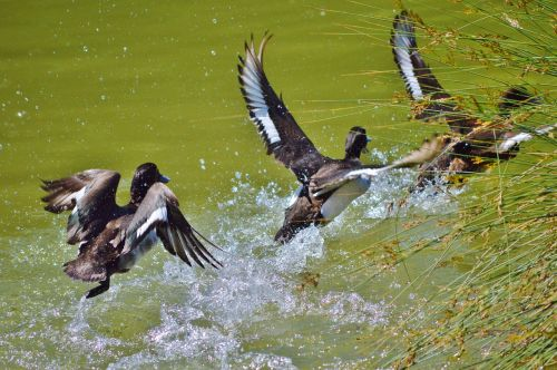 duck water bird mallard