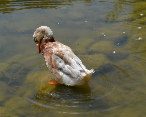 duck anatidae duck bird