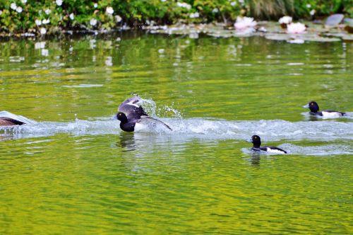 duck water bird row pension