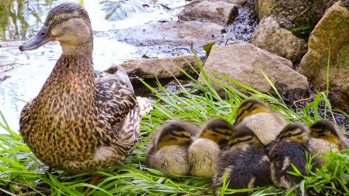 duck wild duck wild duck chicks