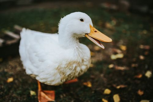 duck domestic fowl animals
