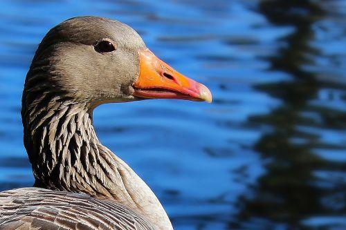 duck goose lake