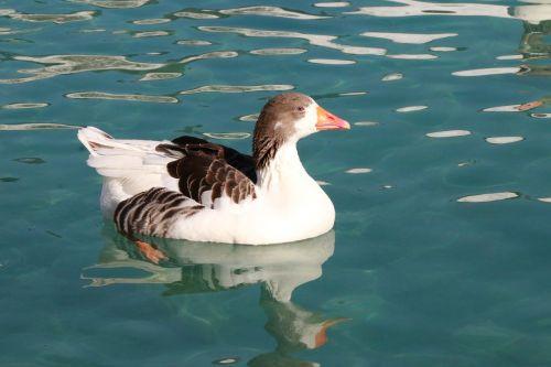 duck marine bird