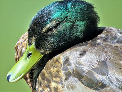 duck wild emerald
