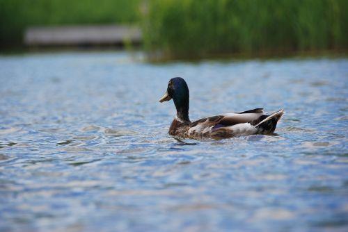 duck rest water