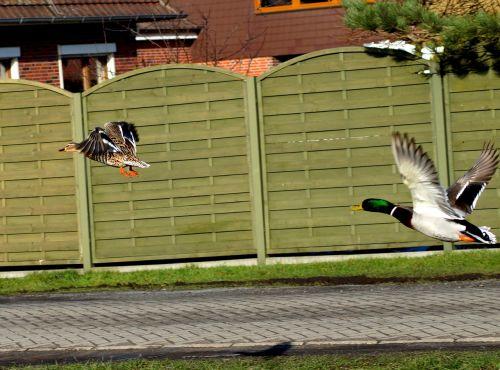 duck in flight water bird