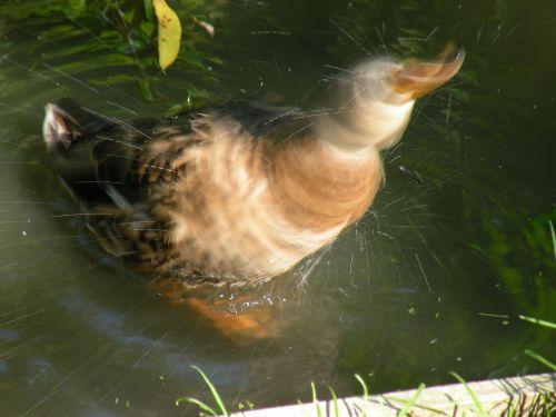 duck drop of water shake