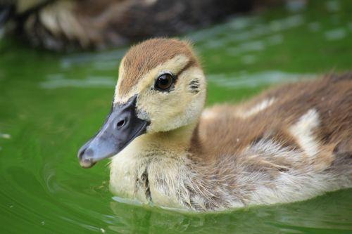 duck ducklings animal