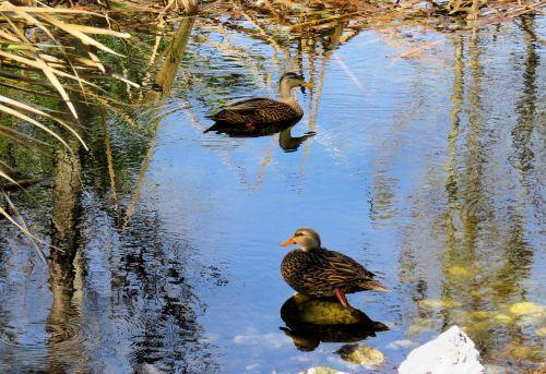 duck ducks mottled ducks