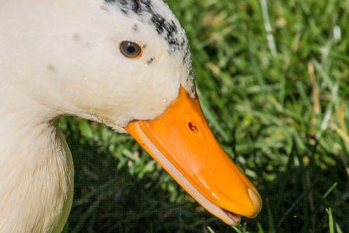 duck park water bird
