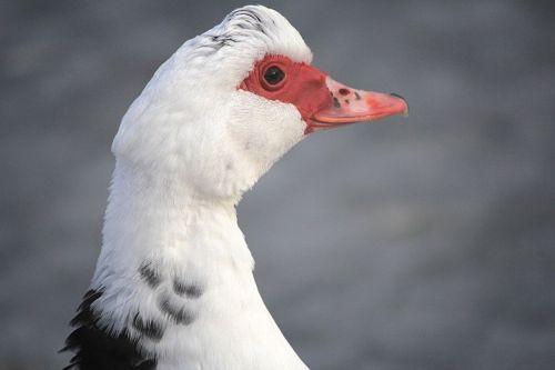 duck waterfowl hair