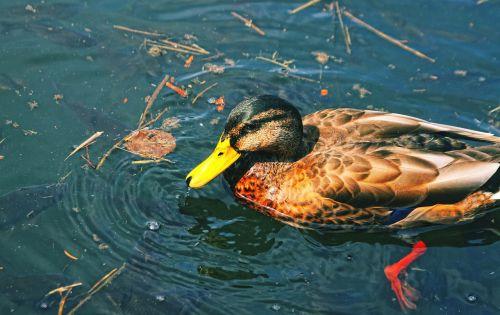 duck park crossword