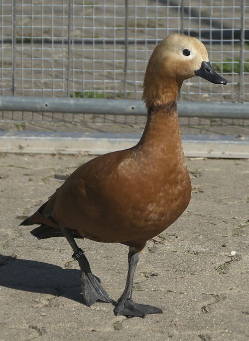 duck poultry bill